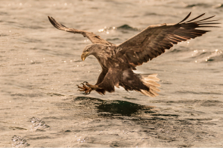 See Eagle attack